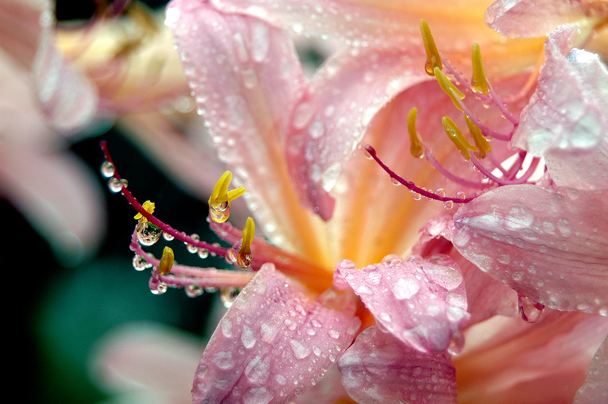 Surprise Lillies after Rain
