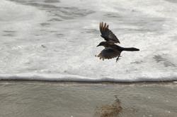 Black Bird at the Shoreline