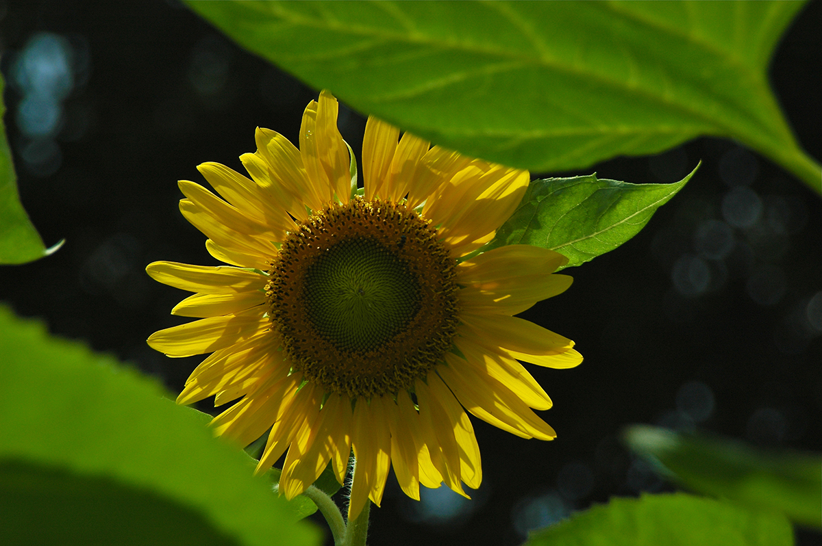 Shy Sunflower
