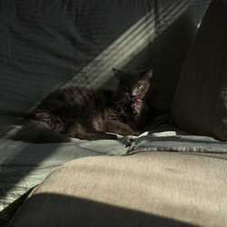 Smokey Cat Grooming in the Sunlight