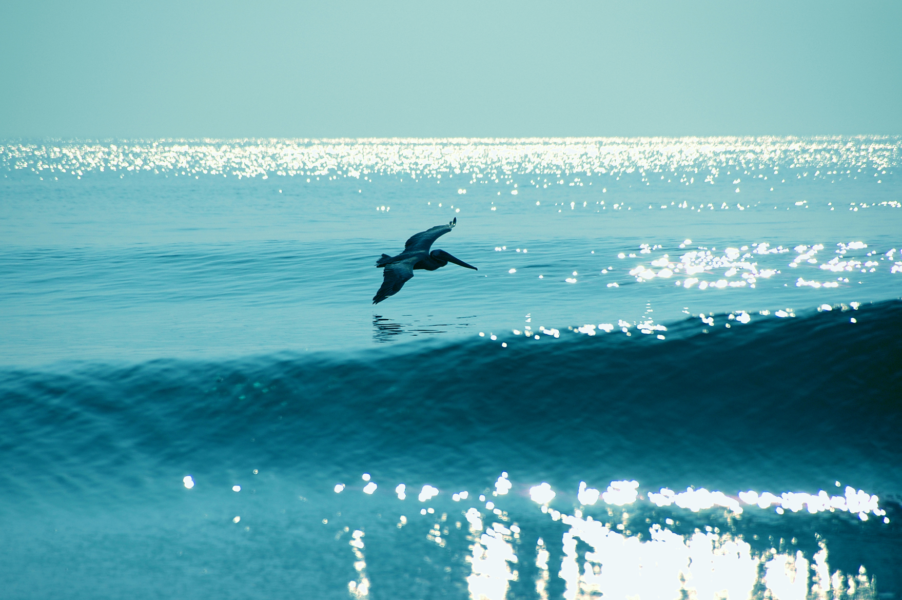Blue Pelican over Soft Waves
