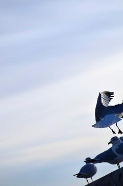 Gulls Landing at the Pier