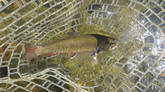 Ammonoosuc River Brook Trout