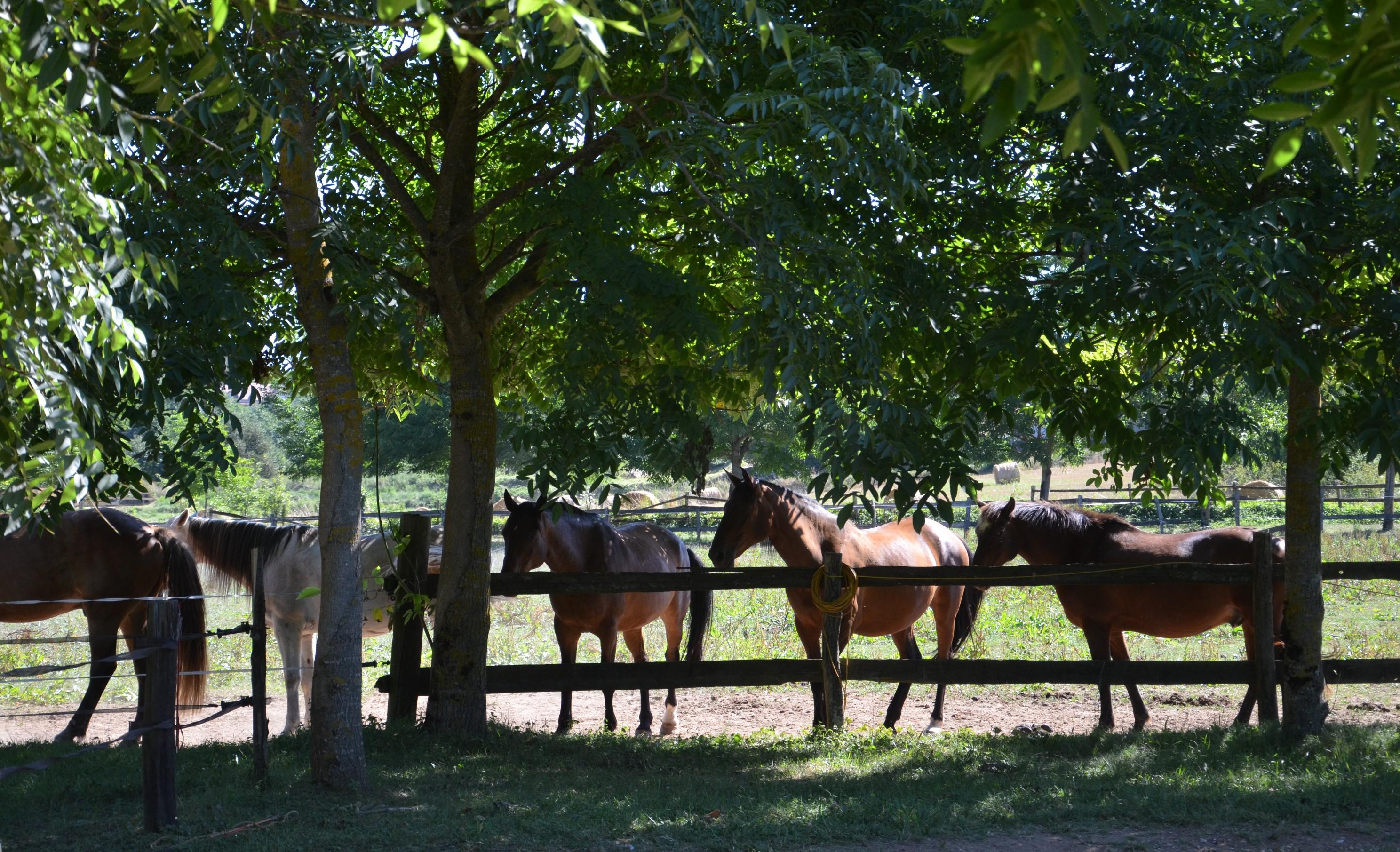 Ecuries de Seuzac paddock des chevaux