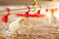 Baby-chicken-at-the-farm-drinking-water_