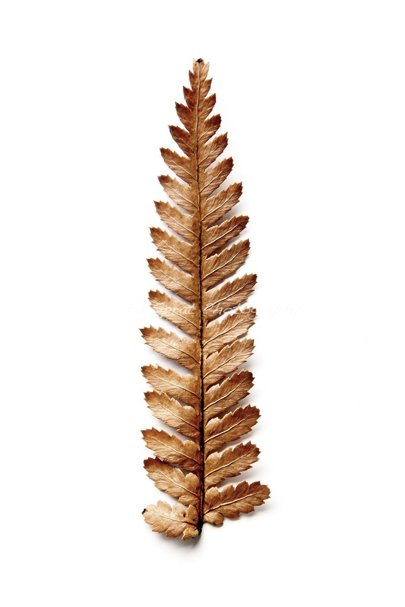 Brown Fern