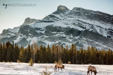 Canada Elk