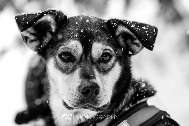 Sled Dog in Wyoming