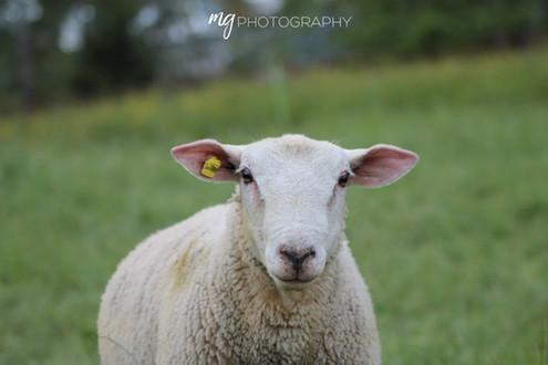 Sheep in Switzerland