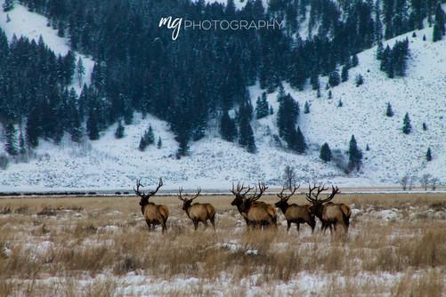 Elk in Wyoming
