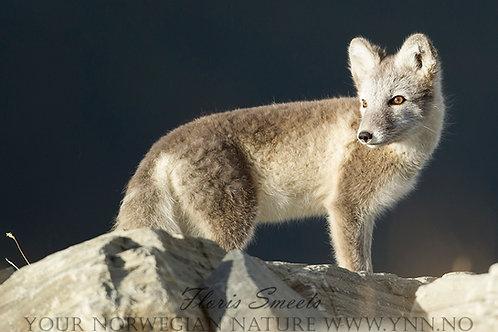 Arctic fox cub 4
