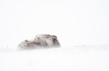 Musk-ox in winter in Dovrefjell Norway