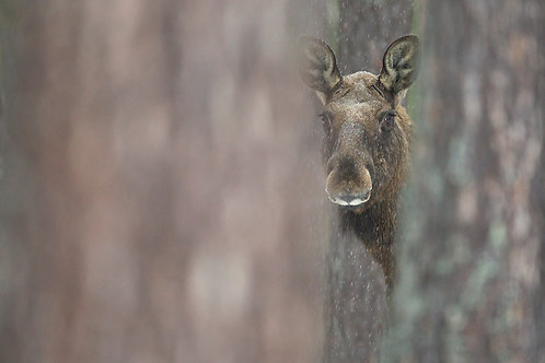 Moose between the trees
