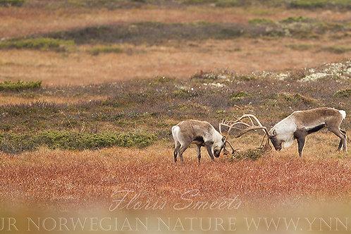 Reindeer in fight 3