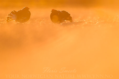 Black grouse in first light 2