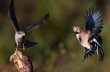 Sparrowhawk hunting Eurasian jay