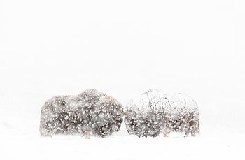 Musk-oxen in snow storm