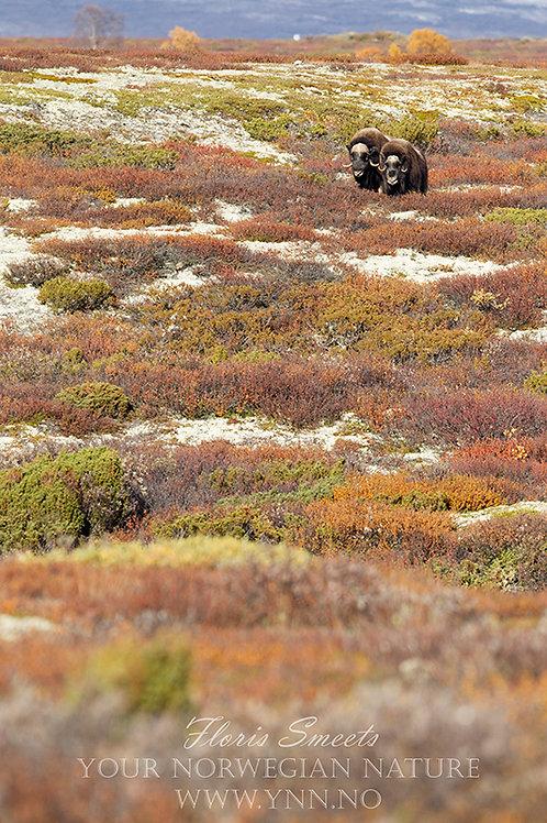 Musk-ox couple in fall