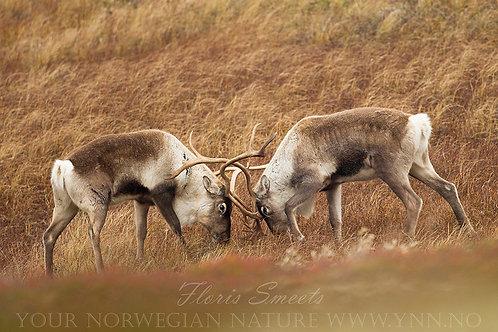 Reindeer in fight
