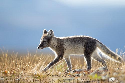 Arctic fox cub 5