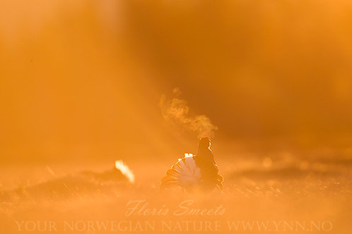 Black grouse in first light