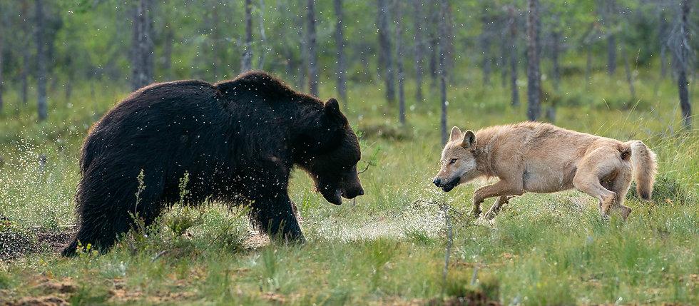 Wolf and bear.jpg