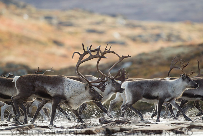 Tutorial. HOW TO PHOTOGRAPH WILD REINDEER