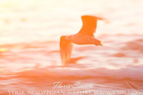 Seagull in midnight sun