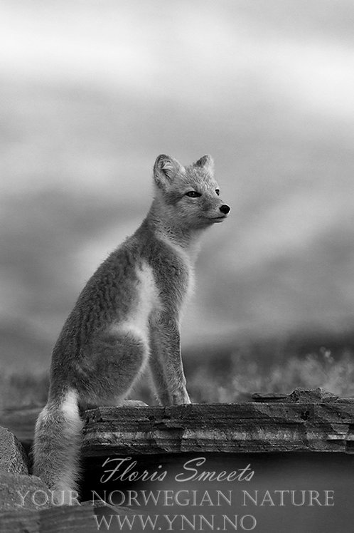 Arctic fox black and white