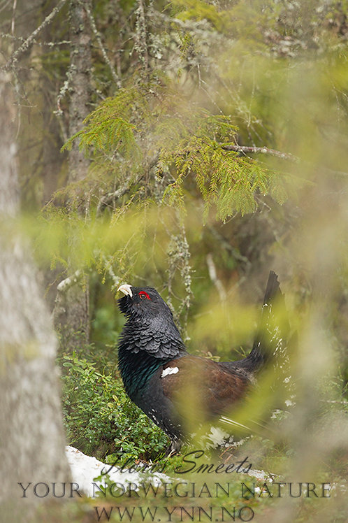 Capercaillie during display 3