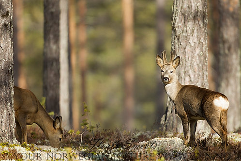 Roe deer couple