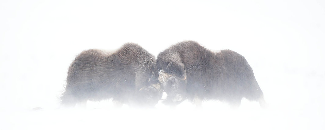 Musk-oxen fighting in snow storm.jpg