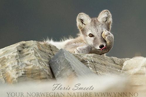 Arctic fox cub, cute