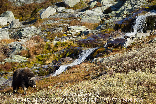 Musk-ox with waterfall