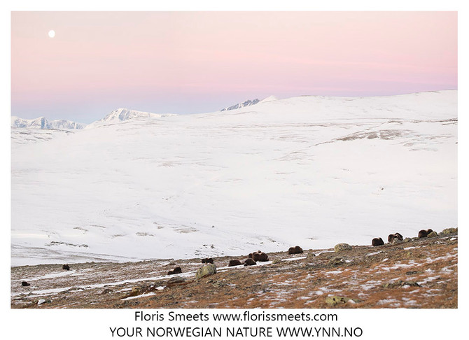 Trip report. MUSK-OXEN IN WINTER CONDITIONS 2017 #2