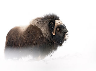 Musk ox winter Dovrefjell