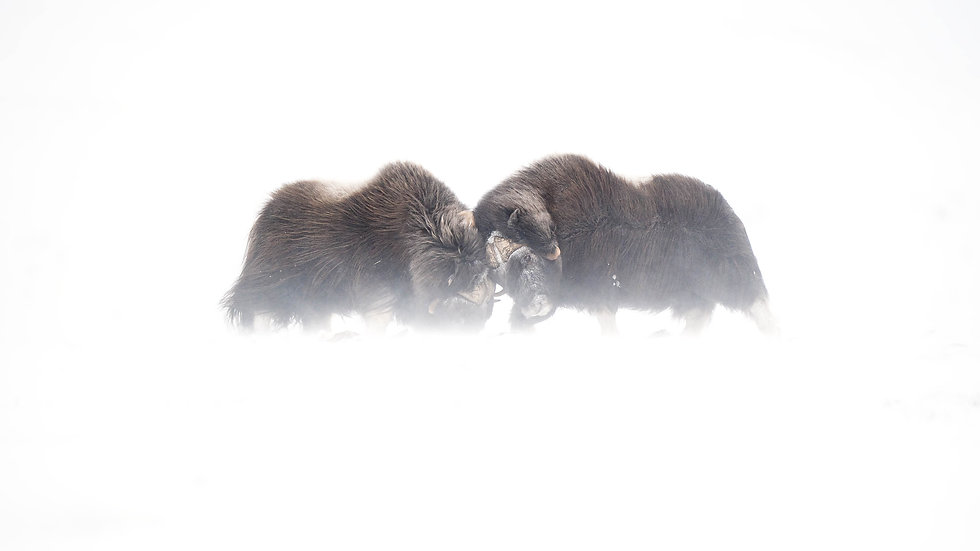 Musk-oxen fighting in snow storm 169.jpg