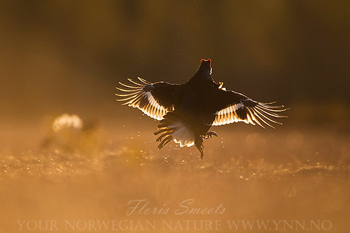 Black grouse in first light 4