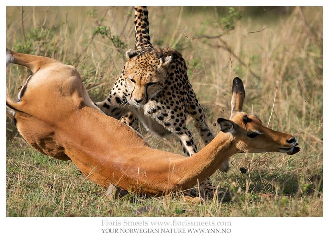 Maasai Mara: CHEETAH ON THE HUNT!
