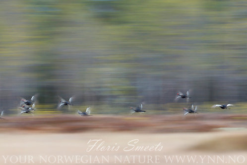 Black grouse males in flight