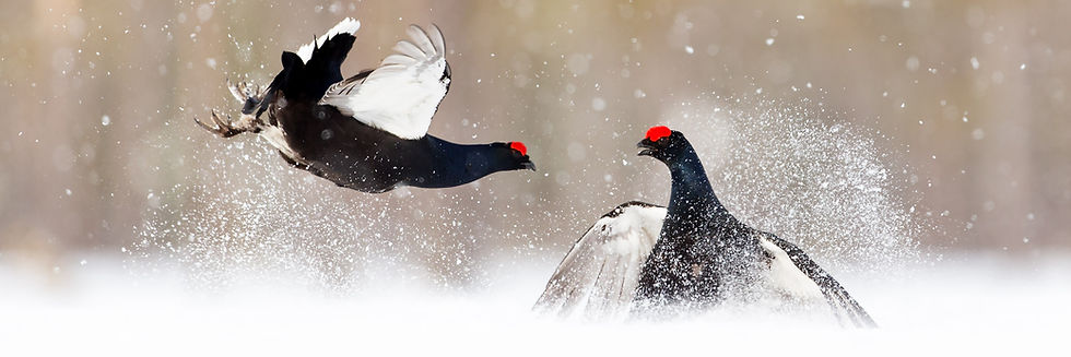 Black grouse Norway