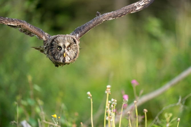 SONY A9 AUTOFOCUS ON FLYING GREAT GREY OWL