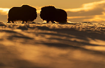 Musk-oxen during sunrise in winter in Dovrefjell Norway