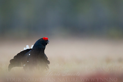 Black grouse male