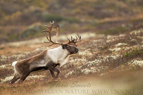 Reindeer stag