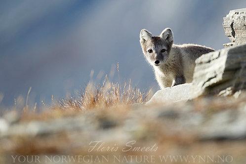 Arctic fox cub 6