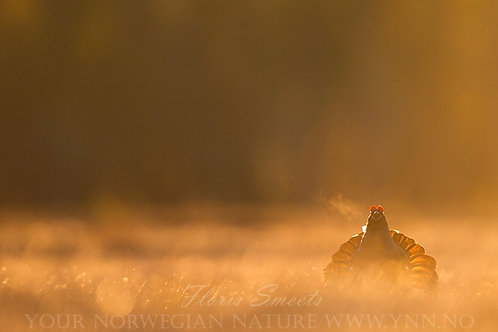 Black grouse in first light 3