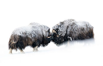 Guided musk-ox winter photo tour