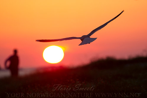 Seagull in midnight sun 2