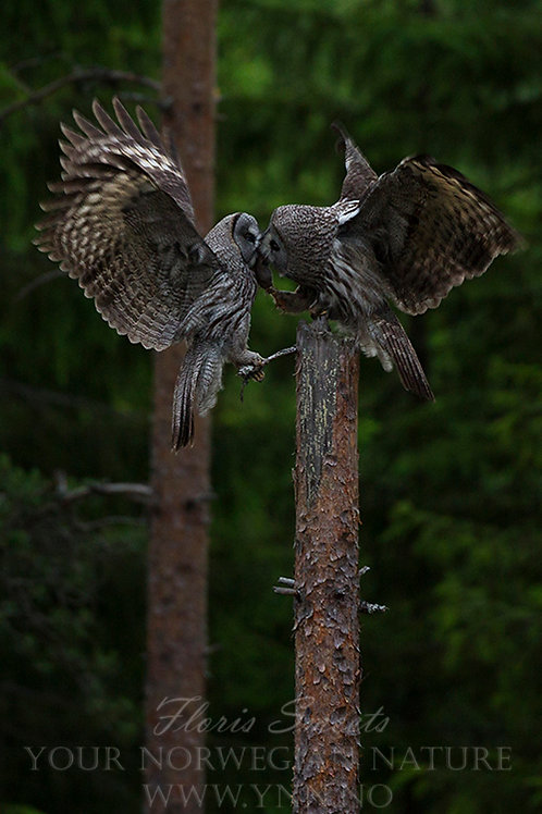 Great grey owl prey transfer